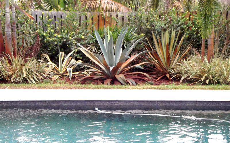 Pool landscaping with mature agave cactus
